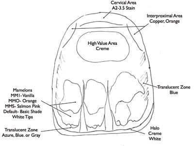 line drawing of a front tooth with areas labeled for different colors